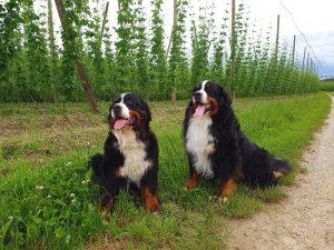 Matilda und Bacio im Hopfenfeld 06/2016